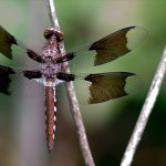 Dragonfly at Cullinan Park