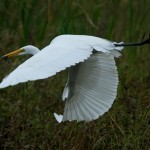 White bird in flight at Cullinan Park