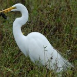 White bird walking at Cullinan Park